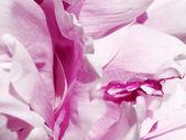 Peonia rosa con goccia — Foto Stock