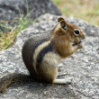 Chipmunk Eating Nut — Stock Photo #10363048