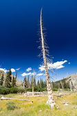 Dead Tree From Forest Fire — Stock Photo