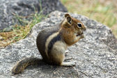 Chipmunk Eating A Nut — Stock Photo