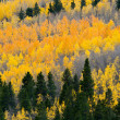 Colorful Fall Aspen Forest — Stock Photo