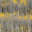 Aspen Tree Trunk Pattern — Stock Photo