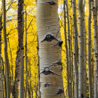 Aspen Tree Trunk Closeup — Stock Photo