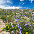 Wildflowers Blooming in Summer - Stock Photo