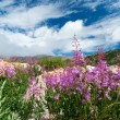 Colorado Wildflowers Blooming in Summer - Stock Photo