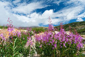 Colorado Wildflowers Blooming in Summer — Stock Photo