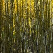 Aspen Trees Abstract Natural Background Pattern — Stock Photo #9211344