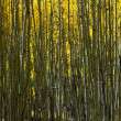 Aspen Trees Abstract Natural Background Pattern — Stock Photo