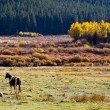 Lone Horse Grazes in Colorado Mountain Valley — Stock Photo