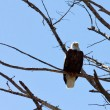 American Bald Eagle Perched On A Tree — Foto Stock