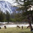 Family Of Elk Grazing Along The River In Yellowstone — Stock Photo