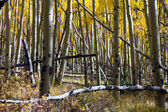 Thick Aspen Forest in the Colorado Rockies in Fall — 图库照片