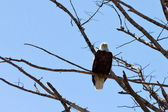 American Bald Eagle Perched On A Tree — Stock Photo