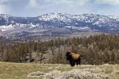 Proud American Bison Stands Alone — Stock Photo