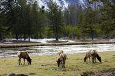 Family Herd Of Elk Grazing Gracefully In Yellowstone — Stock Photo