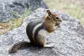 Rocky Mountain Chipmunk Nibbles On A Nut — Stock Photo