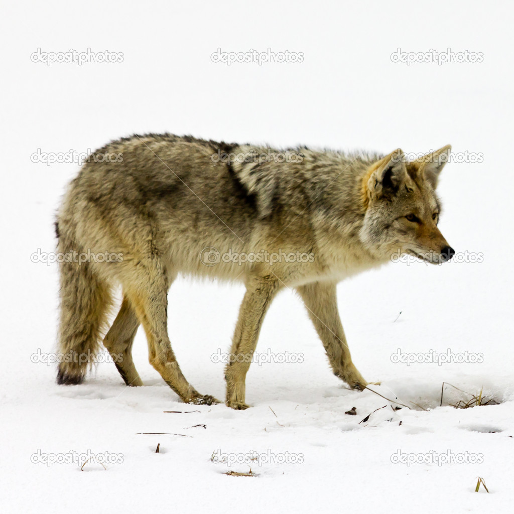 Lone coyote scavenges for food in the winter snow in Yellowstone National Park, Wyoming USA — Stock Photo #9211782