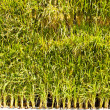 Rice plants in pots. - Stock Photo