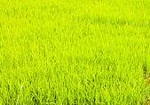 Pirinç ekimi. — Stok fotoğraf