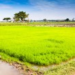 Stock Photo: In rice cultivation.