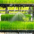 Aeroponics rice plantation technic - Stock Photo