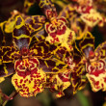 Постер, плакат: Oncidium hybrid orchid