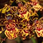 ������, ������: Oncidium hybrid orchid