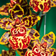 Oncidium Colmanara wildcat - Stock Photo