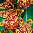 Oncidium Colmanara wildcat — Photo