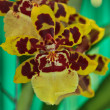 Oncidium Colmanara wildcat orchid - Stock Photo