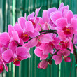 Stock Photo: Phalaenopsis, Harlequin type.