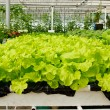 Aeroponics plantation in glasshouse - Stock Photo