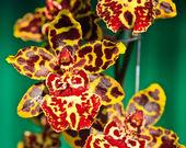 Oncidium Colmanara wildcat — Stock Photo