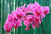 Phalaenopsis, Harlequin type. — Stock Photo