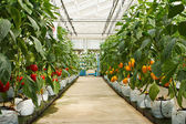 Aeroponics plantation in glasshouse — Stock Photo