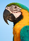 Macaw bird — Stock Photo