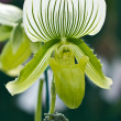 Paphiopedilum Maudiae orchid — Stock Photo
