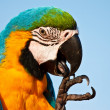 Macaw bird — Stock Photo