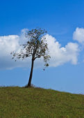 Tree on grass hill and blue sky — Stock Photo