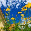 Yellow Cosmos flower and blue sky — Stock Photo