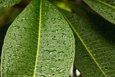 Drops of water on plumeria leaf — Stock Photo