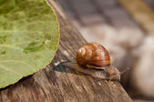Snail crawling on a wooden board — Stock Photo