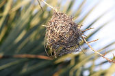 Tessitori nidificano in costruzione — Foto Stock