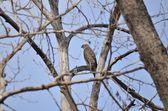 молодые swainsons хок смотреть голые деревья — Стоковое фото
