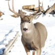 Male Mule Deer licking his nose — Stock Photo