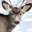 Headshot of young Mule Deer showing new antlers — Stock Photo