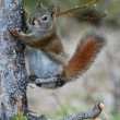 American red squirrel holding onto tree - Stock Photo