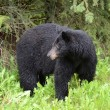 Wet American black bear looking to the side — Stock Photo