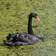 Black Swan in a green pond - Stock Photo