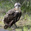 Young Osprey on the ground — Stock Photo